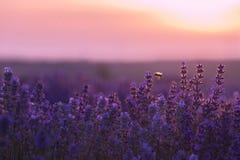 Un pequeño vuelo de la abeja alrededor de un campo del lavander Imagen de archivo
