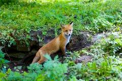 Un pequeño zorro rojo mullido Imagenes de archivo