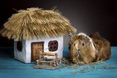 Un pequeños conejillo de Indias y casa con un tejado cubierto con paja imagen de archivo