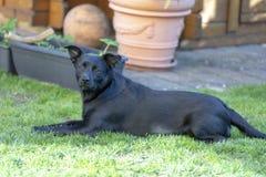 Un peque?o aire libre del perro negro en hierba verde El perro es un mezclado de un labrador retriever fotografía de archivo