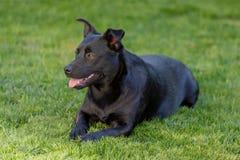 Un peque?o aire libre del perro negro en hierba verde El perro es un mezclado de un labrador retriever foto de archivo