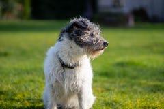Un peque?o perro del terrier en hierba verde imagenes de archivo