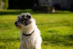 Un peque?o perro del terrier en hierba verde imágenes de archivo libres de regalías
