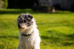 Un peque?o perro del terrier en hierba verde fotografía de archivo