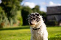 Un peque?o perro del terrier en hierba verde foto de archivo libre de regalías