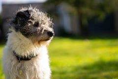 Un peque?o perro del terrier en hierba verde foto de archivo