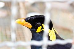 Un pequeño pájaro en una jaula (pájaro del kuntong) Fotografía de archivo