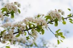 Un peral floreciente en primavera Olor embriagador de la primavera imagenes de archivo