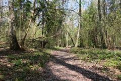 Un percorso della sporcizia nella foresta immagine stock