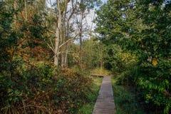 Un percorso di legno nella foresta belga è posto fra gli alberi immagini stock