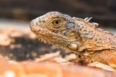 Un perfil de una iguana marrón imagen de archivo