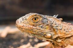 Un perfil de una iguana marrón foto de archivo