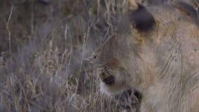 Un perfil de una reclinación del león almacen de video