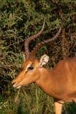 Un perfil del lado del espolón del kudu fotografía de archivo