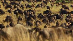 Un periodo di siccità prende la tenuta per evitare inedia, molti lo gnu vaga la savanna africana orientale che insegue la pioggia immagine stock