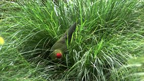 Un periquito coronado rojo que forrajea en hierba larga almacen de video