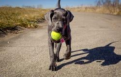 Un perrito adorable de great dane camina hacia el espectador que lleva una pelota de tenis Fotografía de archivo