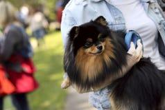 Un perrito alemán lindo del perro de Pomerania en los brazos de los girl's foto de archivo