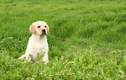 Un perrito amarillo agradable de Labrador en hierba verde Fotografía de archivo