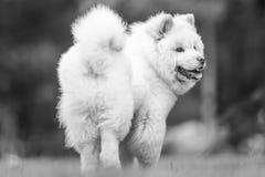 Un perrito blanco del samoyedo de detrás la mirada sobre su hombro imágenes de archivo libres de regalías