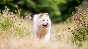 Un perrito blanco del samoyedo que camina con un claro en un prado con los wildflowers y la hierba seca imágenes de archivo libres de regalías