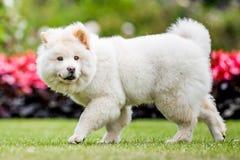 Un perrito blanco del samoyedo que camina más allá de las flores rojas y negras que miran hacia cámara fotos de archivo libres de regalías