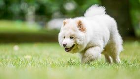 Un perrito blanco del samoyedo que camina a través de un prado con el árbol en el fondo imagen de archivo