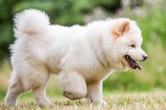 Un perrito blanco del samoyedo que caminaba sobre la pata de la hierba de sequedad una paised foto de archivo
