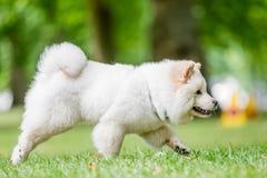 Un perrito blanco del samoyedo que corre en un campo con un árbol en el fondo del lado foto de archivo