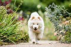 Un perrito blanco del samoyedo que corre a lo largo de una trayectoria a través de las flores salvajes que miran la cámara imagen de archivo