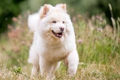 Un perrito blanco del samoyedo que corre majestuoso a través de hierba y de wildflowers largos fotografía de archivo