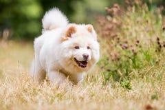 Un perrito blanco del samoyedo que corre a través de hierba y de wildflowers largos fotos de archivo