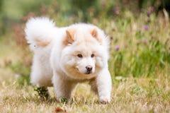 Un perrito blanco del samoyedo que corre a través de hierba y de wildflowers largos con la cabeza abajo foto de archivo libre de regalías