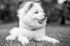 Un perrito blanco del samoyedo que mentía en la hierba que miraba al lado con la boca se cerró fotos de archivo