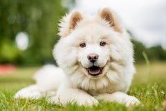 Un perrito blanco del samoyedo que miente en un campo que mira abajo la cámara fotos de archivo
