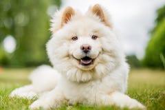 Un perrito blanco del samoyedo que miente en un campo que mira la cámara imágenes de archivo libres de regalías