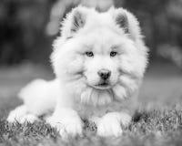 Un perrito blanco del samoyedo que miente en la hierba imagen de archivo libre de regalías