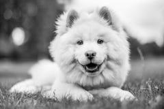 Un perrito blanco del samoyedo que miente en la hierba que mira abajo la cámara blanco y negro imágenes de archivo libres de regalías