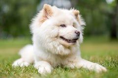 Un perrito blanco del samoyedo que miente en la hierba que mira al lado con la boca abierta imagen de archivo