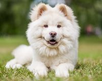 Un perrito blanco del samoyedo que miente en la hierba que mira la cámara con la boca abierta fotografía de archivo libre de regalías