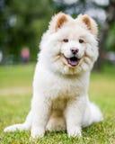 Un perrito blanco del samoyedo que se sienta en la hierba que mira la cámara con la boca abierta fotografía de archivo libre de regalías