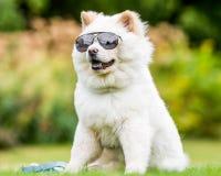 Un perrito blanco del samoyedo que se sienta en las gafas de sol que llevan de un campo que miran hacia cámara fotografía de archivo libre de regalías
