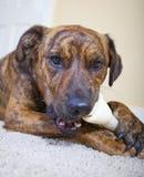 Un perrito brindled lindo con un hueso del cuero crudo Imagenes de archivo