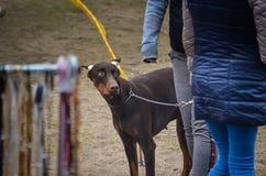 Un perrito de un perrito marrón del Doberman con los oídos atados mira questioningly su señora Cansancio emocional de la primera  fotos de archivo libres de regalías