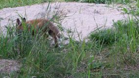 Un perrito del zorro en el edificio del zorro metrajes