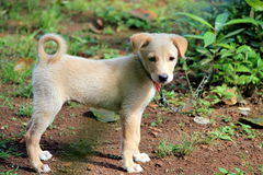 Un perrito encadenado Fotografía de archivo libre de regalías