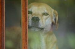 Un perrito está mirando a escondidas hacia fuera para ver quién está en la puerta Imágenes de archivo libres de regalías