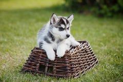 Un perrito fornido está mintiendo en el carro Imágenes de archivo libres de regalías