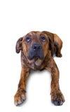 Un perrito lindo que lo piensa ha hecho el somethin Fotos de archivo libres de regalías