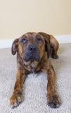 Un perrito lindo que lo piensa ha hecho el somethin Fotografía de archivo